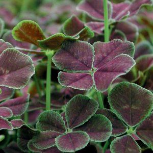 Клевер ползучий Atropurpurea (Trifolium repens Atropurpurea)