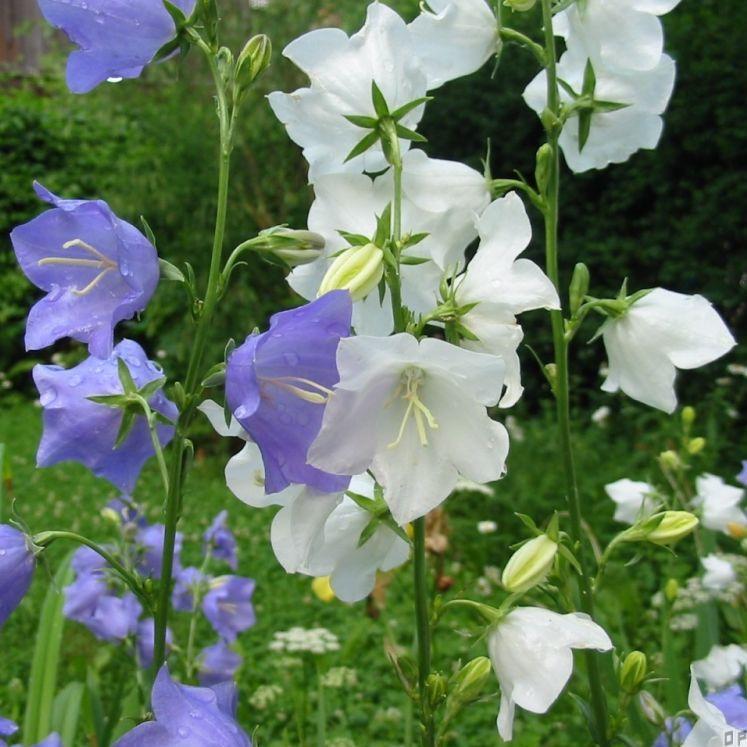 Колокольчик персиколистный (белый, голубой) (Campanula persicifolia)