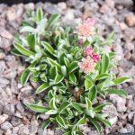 Кошачья лапка двудомная (Antennaria dioica)