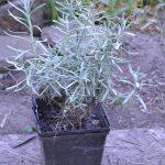 Лаванда лекарственная (Lavandula officinalis)