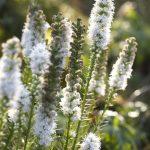 Лиатрис колосистая белая (Liatris spicata alba)
