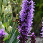 Лиатрис колосистая (Liatris spicata)