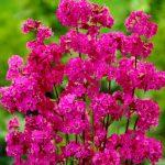Лихнис обыкновенный махровый (Lychnis viscaria Plena)