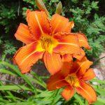 Лилейник оранжевый (Hemerocallis fulva)