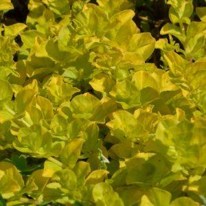 Лизимахия монетолистная жёлтая (Lysimachia nummularia Aurea)