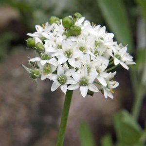 Лук душистый (Allium tuberosum)