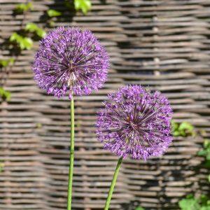 Лук розовейший (Allium rosenorum)