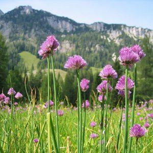 Лук скорода (Allium schoenoprasum)
