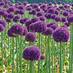 Лук высочайший Голиаф (Allium altissimum Goliath)