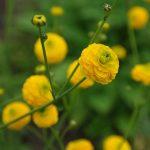ютик ползучий махровый Multiplex (Ranunculus repens Multiplex)