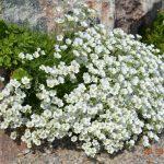 Минуарция арктическая (Minuartia arctica)