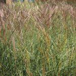 Мискантус китайский Kleine Silberspinne (Miscanthus sinensis Kleine Silberspinne)