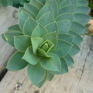 Молочай миртолистный (Euphorbia myrsinites)