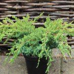 Можжевельник чешуйчатый Holger (Juniperus squamata Holger)