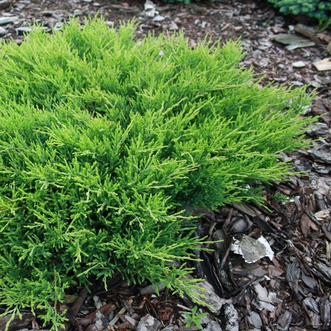 Можжевельник горизонтальный Андорра Компакт (Juniperus horizontalis Andorra Compact)