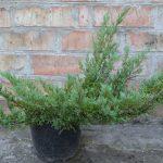Можжевельник горизонтальный Андорра Компакт (Juniperus horizontalis Andorra Compact)0