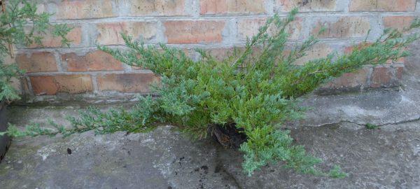 Можжевельник горизонтальный Андорра Компакт (Juniperus horizontalis Andorra Compact)00