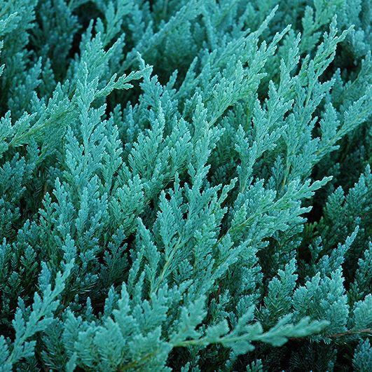 Можжевельник горизонтальный Blue Chip (Juniperus horizontalis Blue Chip)