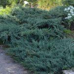 Можжевельник горизонтальный Blue Chip (Juniperus horizontalis Blue Chip)0