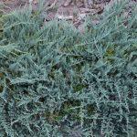 Можжевельник горизонтальный Blue Chip (Juniperus horizontalis Blue Chip)00