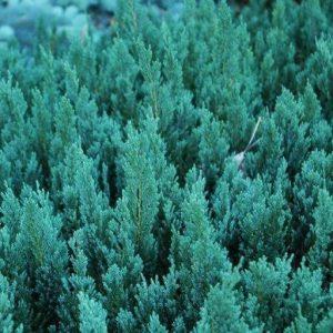 Можжевельник горизонтальный Blue Forest (Juniperus horizontalis Blue Forest)