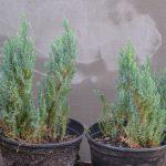 Можжевельник горизонтальный Blue Forest (Juniperus horizontalis Blue Forest)0