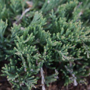 Можжевельник горизонтальный Вилтони (Juniperus horizontalis Wiltonii)1
