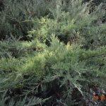 Можжевельник казацкий Rockery Gem (Juniperus sabina Rockery Gem)0