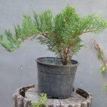 Можжевельник казацкий Rockery Gem (Juniperus sabina Rockery Gem)00