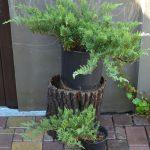 Можжевельник казацкий Rockery Gem (Juniperus sabina Rockery Gem)000