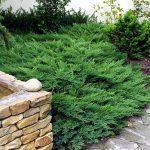 Можжевельник казацкий Рокери Гем (Рокери Джем) (Juniperus sabina Rockery Gem)