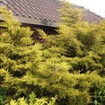 Можжевельник китайский Куривао Голд (Juniperus chinensis Kuriwao Gold) 2