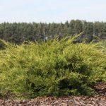 Можжевельник китайский Куривао Голд (Juniperus chinensis Kuriwao Gold) 3