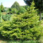 Можжевельник китайский Куривао Голд (Juniperus chinensis Kuriwao Gold) 4