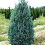Можжевельник скальный Moonglow (Juniperus scopulorum Moonglow)