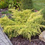 Можжевельник средний Old gold (Juniperus pfitzeriana Old Gold)