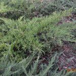 Можжевельник средний Pfitzeriana Aurea (Juniperus media Pfitzeriana Aurea)