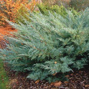 Можжевельник виргинский Hetz (Juniperus virginiana Hetz) 2
