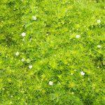 Мшанка моховидная (Sagina subulata)