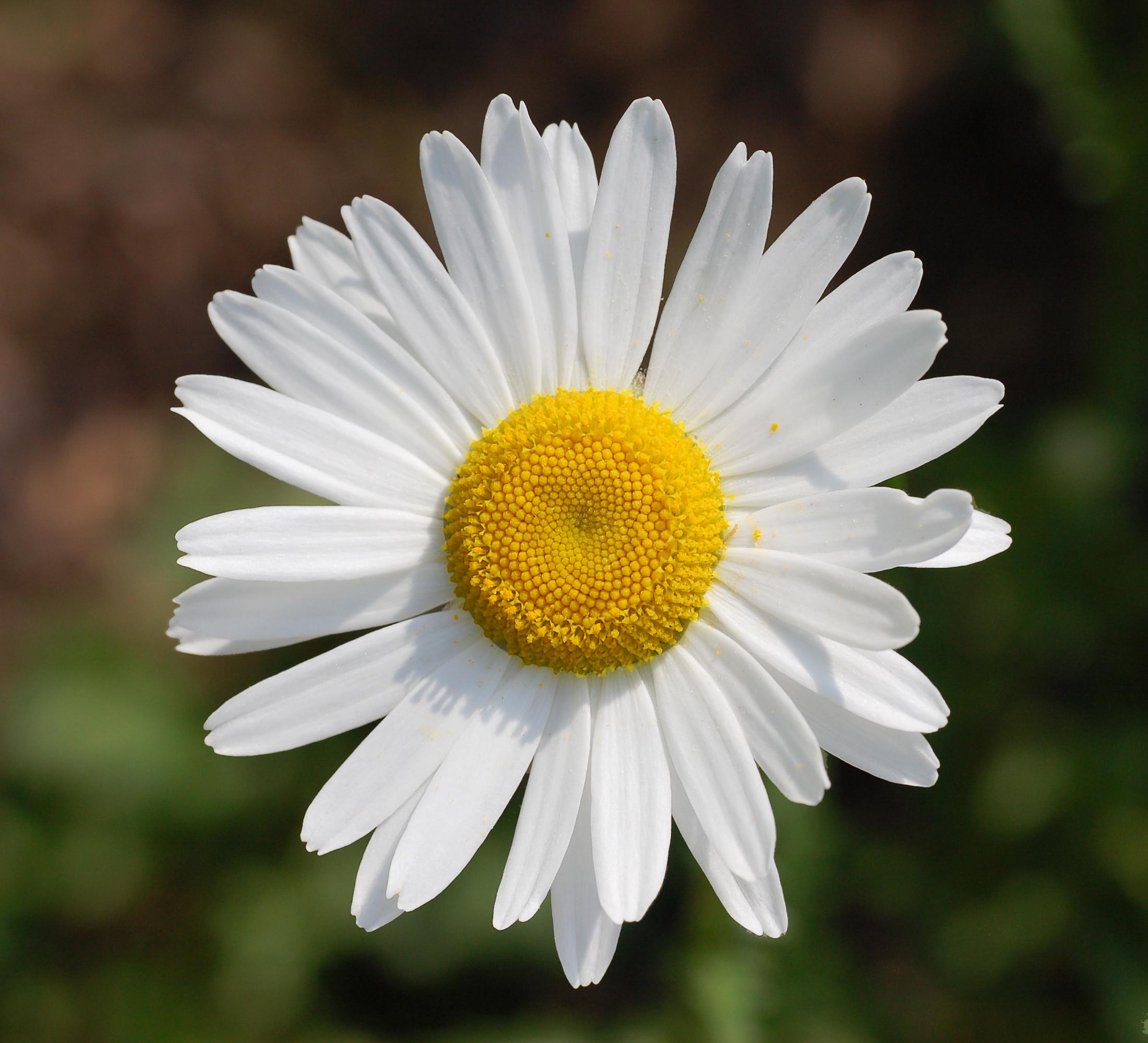 Нивяник (ромашка) обыкновенный (Leucanthemum vulgare)