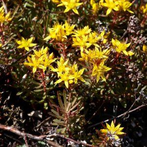 Очиток Миддендорфа (Sedum middendorfianum)