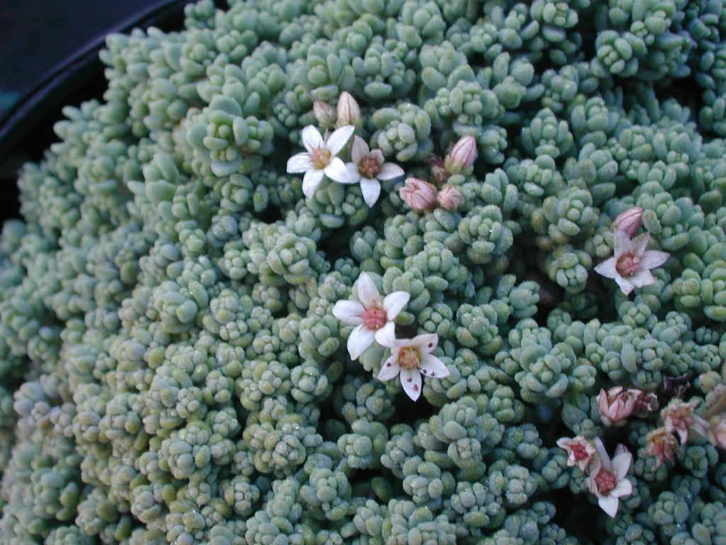 Очиток густолистный (Sedum dasyphyllum)