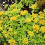 Очиток камчатский (Sedum kamtschaticum)