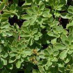 Очиток камчатский пестролистный (Sedum kamtschaticum Variegata)
