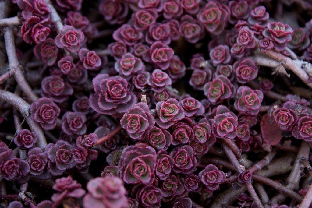 Очиток ложный Purple Carpet (Sedum spurium Purple Carpet)