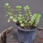 Очиток ложный (Sedum spurium)
