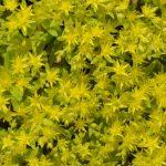 Очиток лозовидный (Sedum sarmentosum)