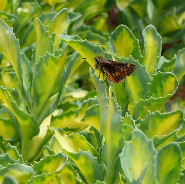 Очиток видный Mediovariegata (Sedum alboroseum Mediovariegatum)
