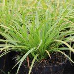 Осока Морроу Вариегата (Carex morrowii Variegata)