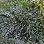 Осока птиценогая Variegata (Carex ornithopoda Variegata)